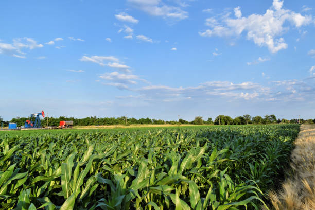 Corn field and oil well with pumpjack in background stock photo
