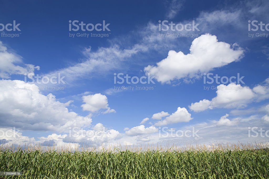 corn field and summer sky royalty-free stock photo