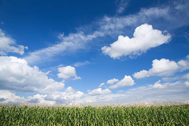 corn field and summer sky stock photo
