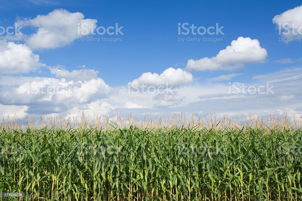Corn field and the clear sunny weather stock photo