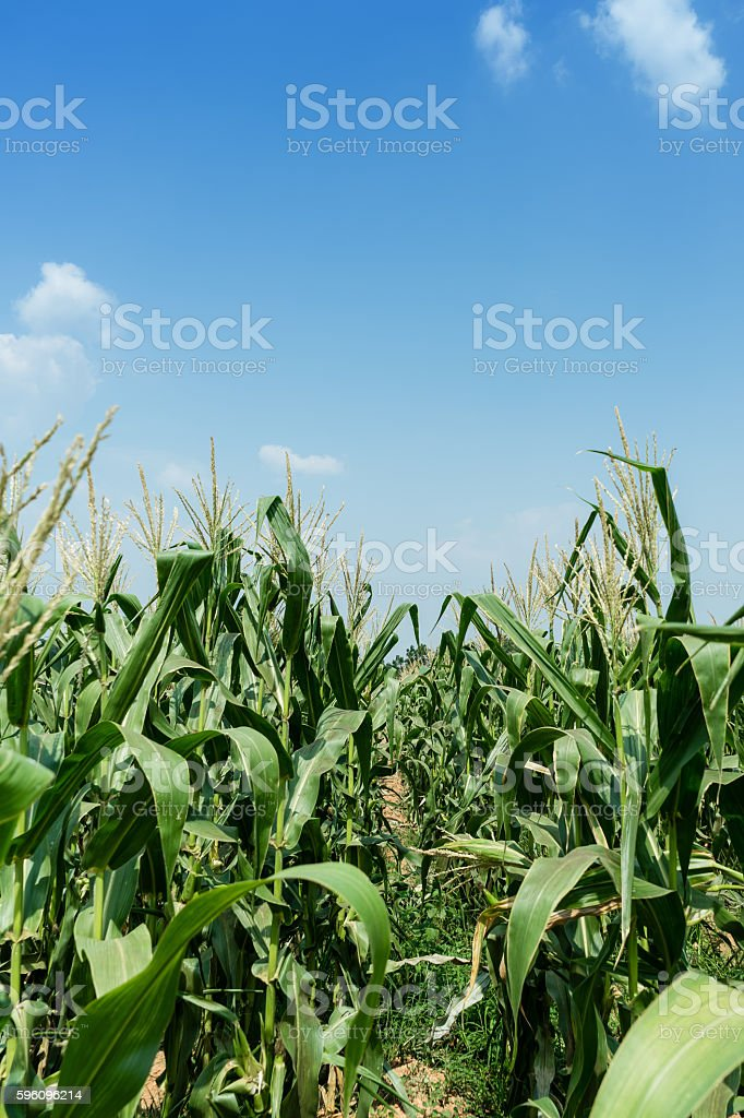 Corn field are growing in sunny day with blue sky Lizenzfreies stock-foto