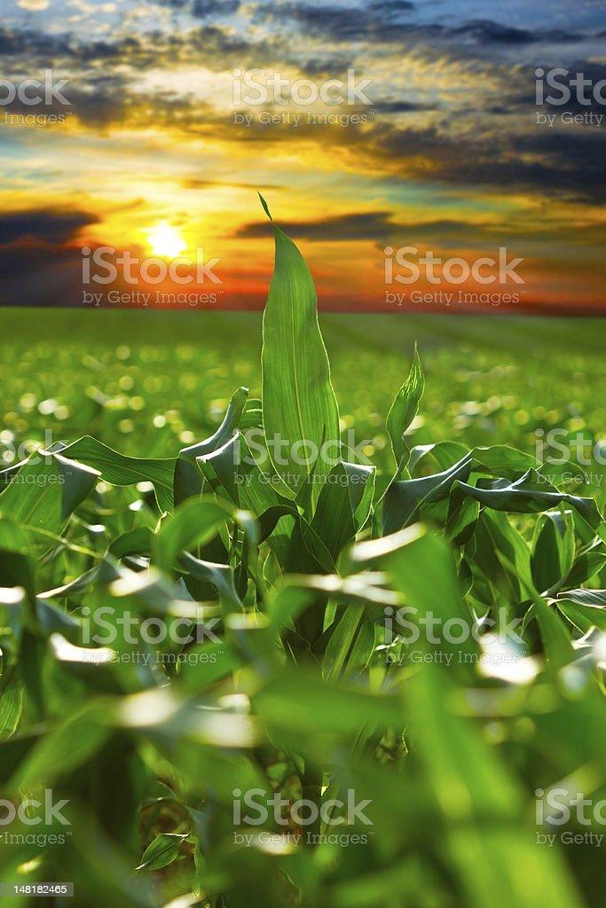 Corn field at sunset stock photo