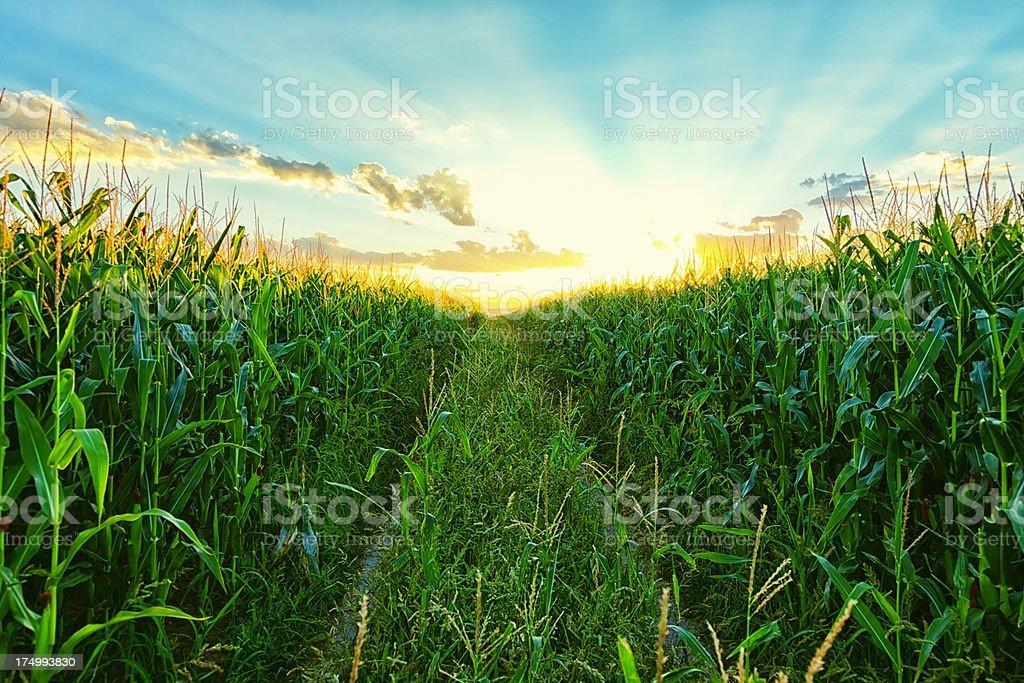 Corn Field at Sunset royalty-free stock photo