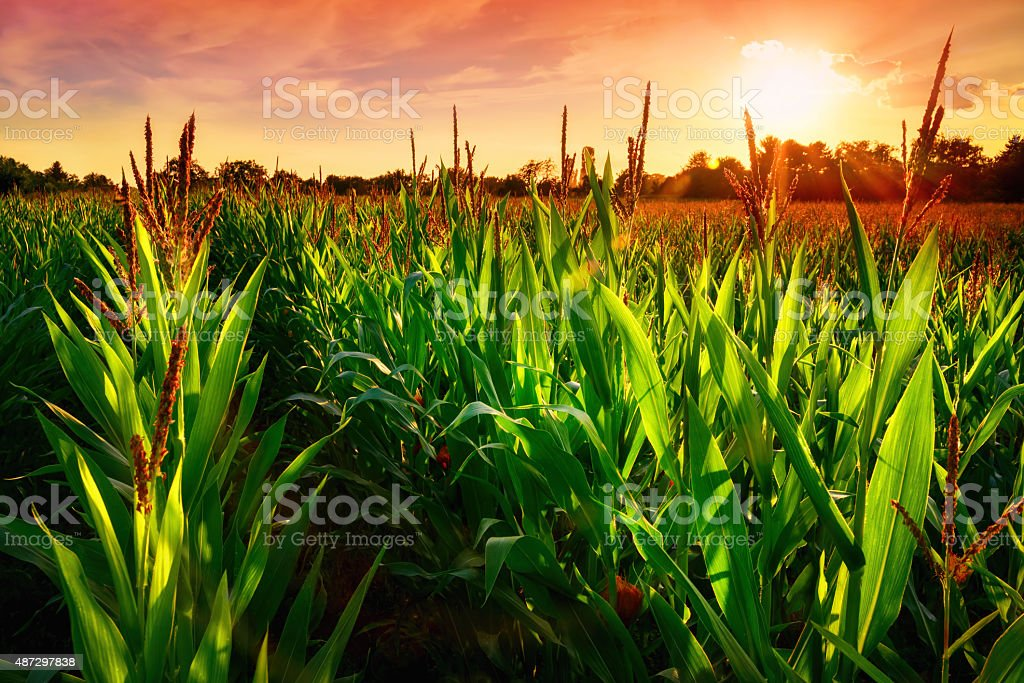 Corn field at sunset stock photo
