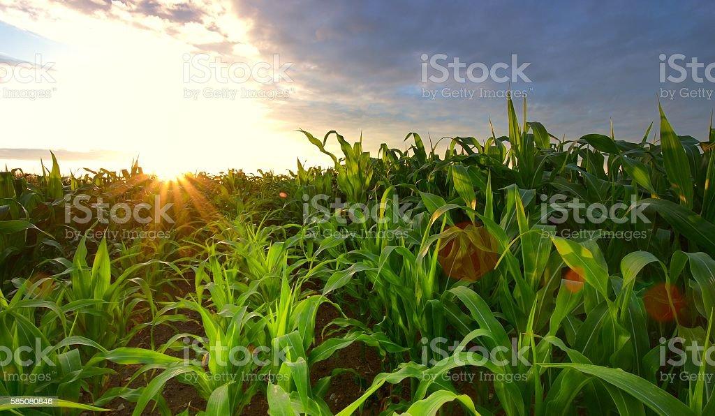 Кукурузное поле на закате стоковое фото