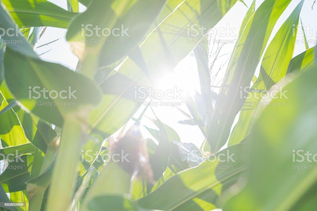 Mais-Feld Hintergrund – Foto