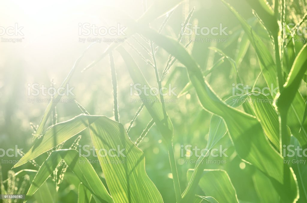 corn field close-up at the sunset stock photo