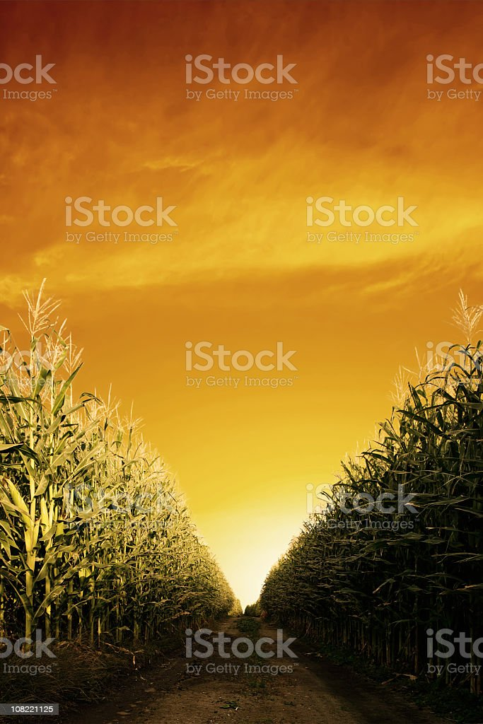 corn field close-up royalty-free stock photo
