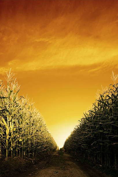 corn field close-up  monoculture stock pictures, royalty-free photos & images