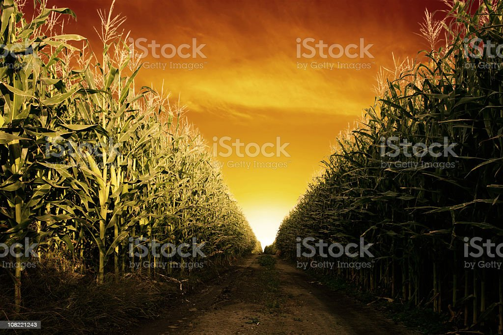 corn field close-up stock photo