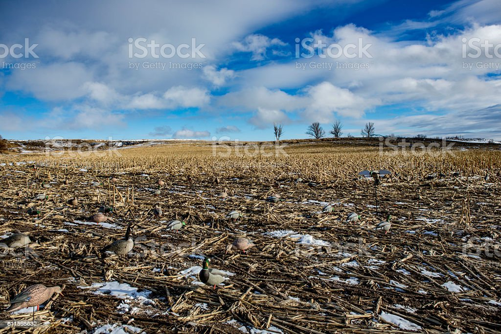 Corn field duck and goose hunt stock photo