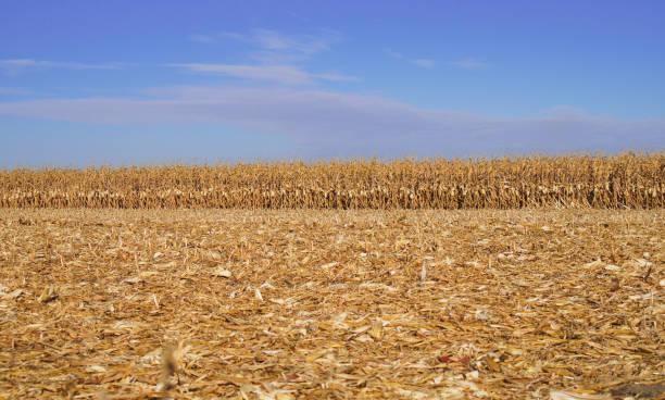 Maisfeld, gold gefärbt Seil von Mais – Foto