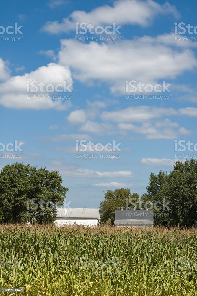Corn Field Growing Under Summer Sky royalty-free stock photo