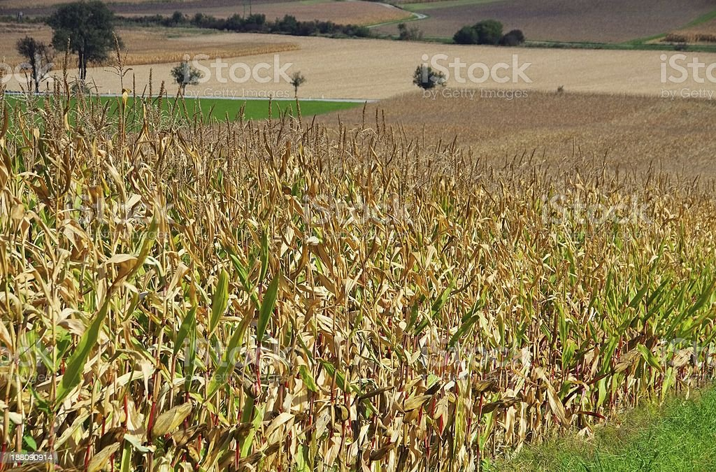 corn field in fall royalty-free stock photo