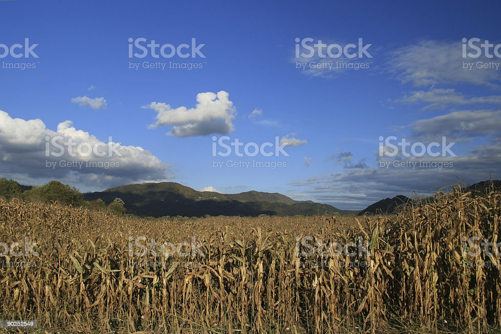 Corn field in late september royalty-free stock photo