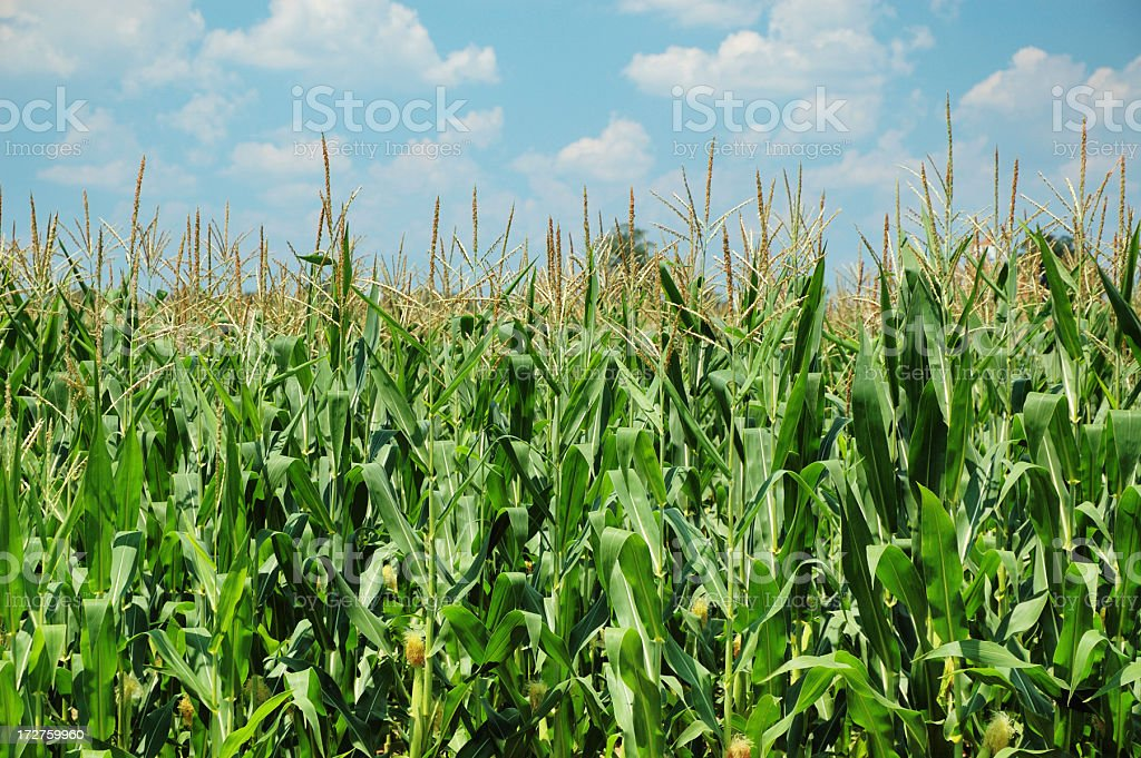 Corn Field in Midsummer stock photo