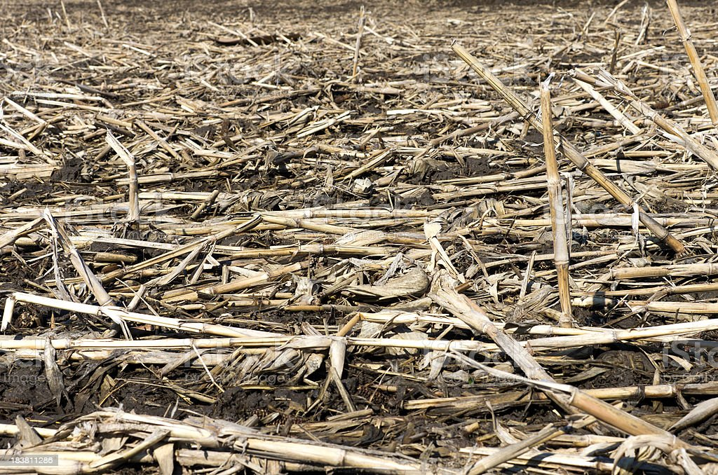 Corn Field in Spring royalty-free stock photo