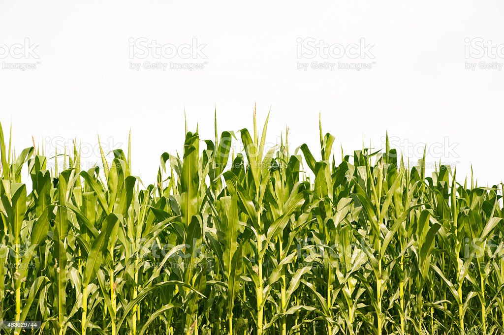 Corn field in summer stock photo