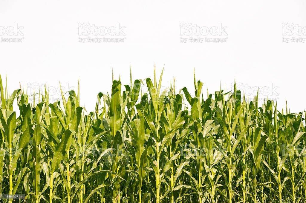 Corn field en verano - foto de stock