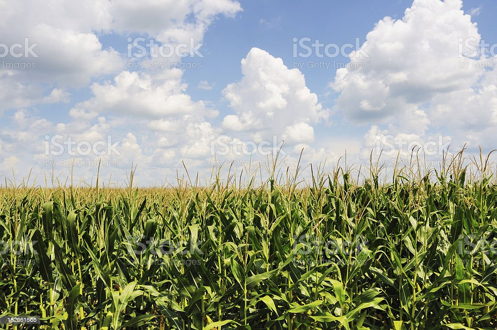 Corn Field in Summer with Clouds on Indiana Farm stock photo