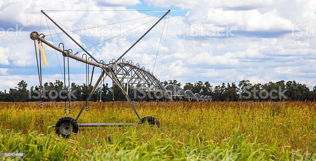Corn field in the outback at Dubbo Australia stock photo