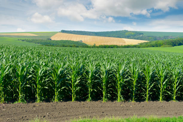 Corn field in the picturesque hills stock photo