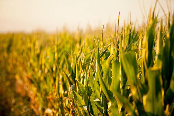 Corn field in den Sonnenuntergang – Foto