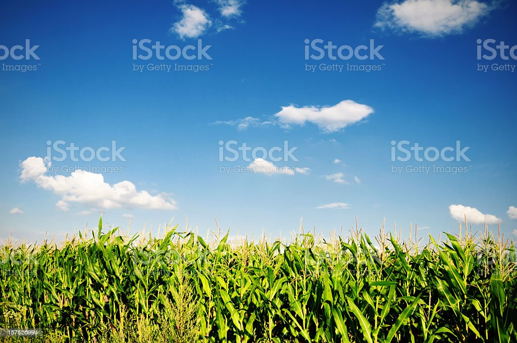 Corn field on bright sunny summers day stock photo