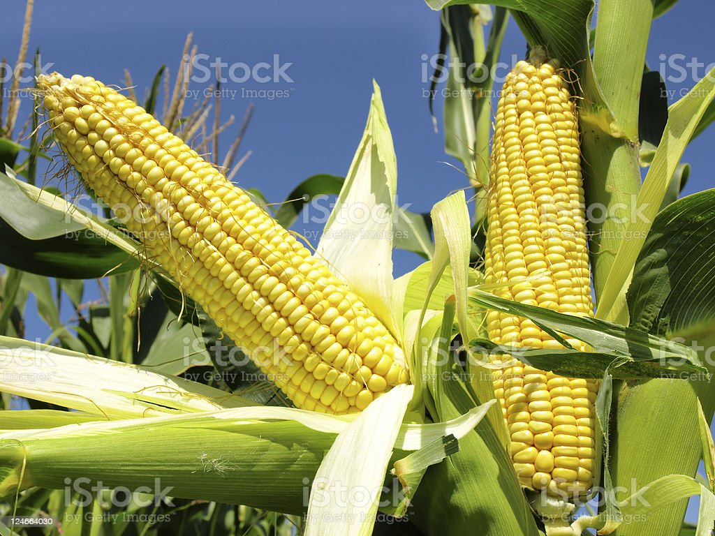 corn field stock photo