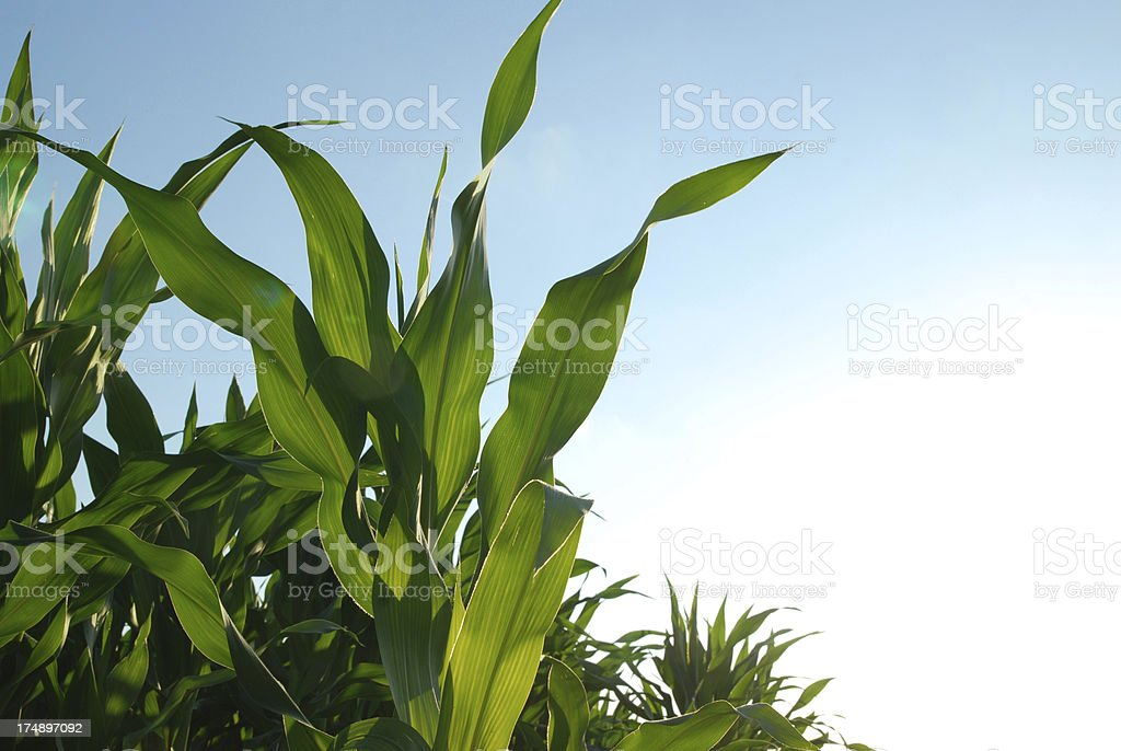Corn field royalty-free stock photo