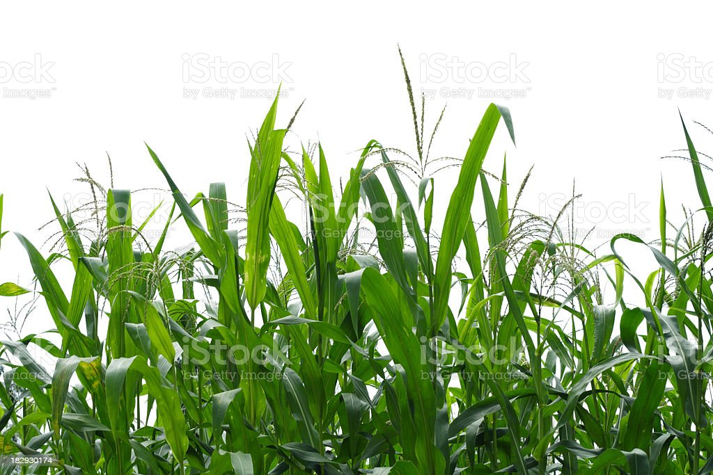 Corn field. royalty-free stock photo