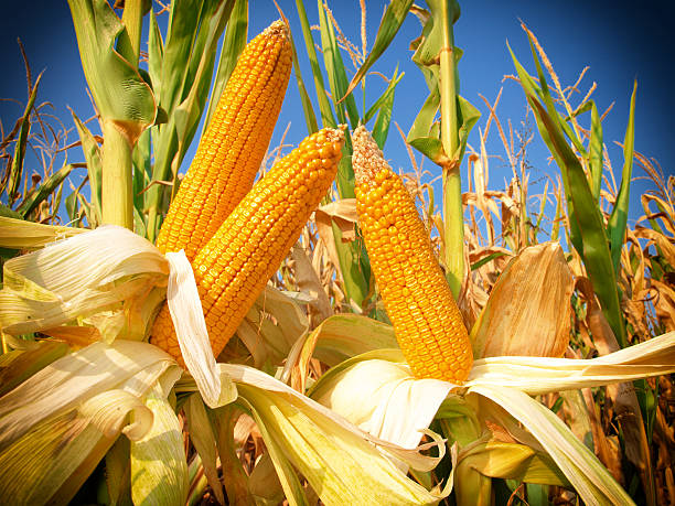 Corn field Corn field,close up sweetcorn stock pictures, royalty-free photos & images