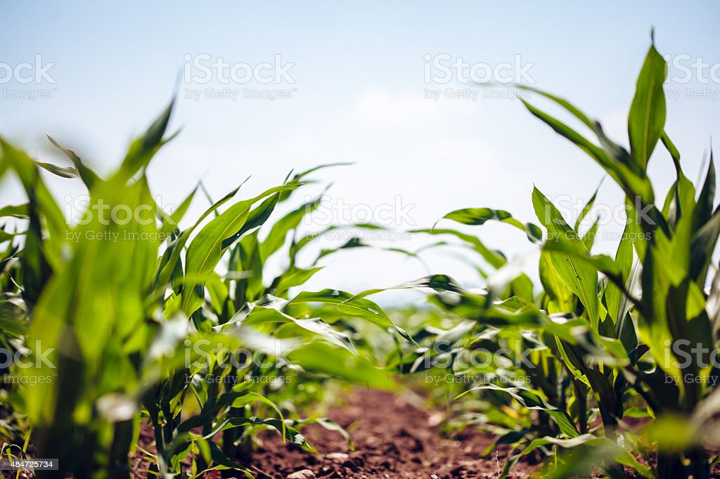 Corn Field - Royalty-free 2015 Stock Photo