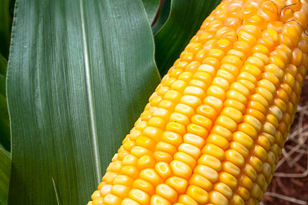 corn field ear of corn and leaf, in Brazil sweetcorn stock pictures, royalty-free photos & images