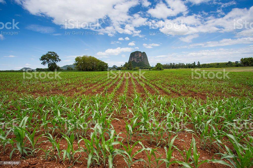 Corn field – Foto