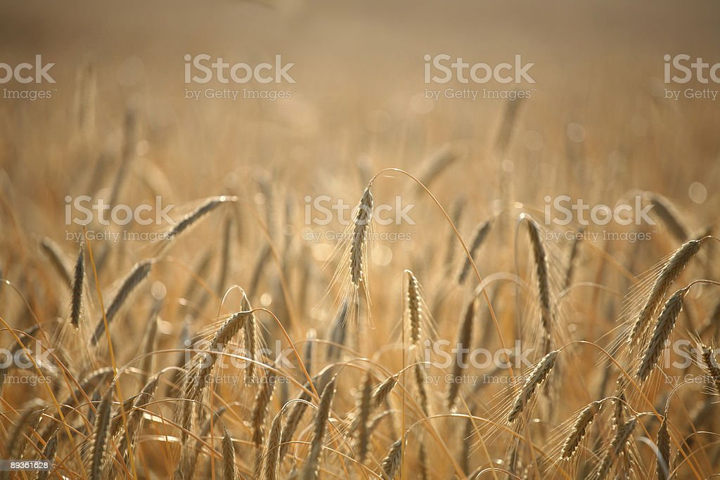 Campo di mais foto stock royalty-free