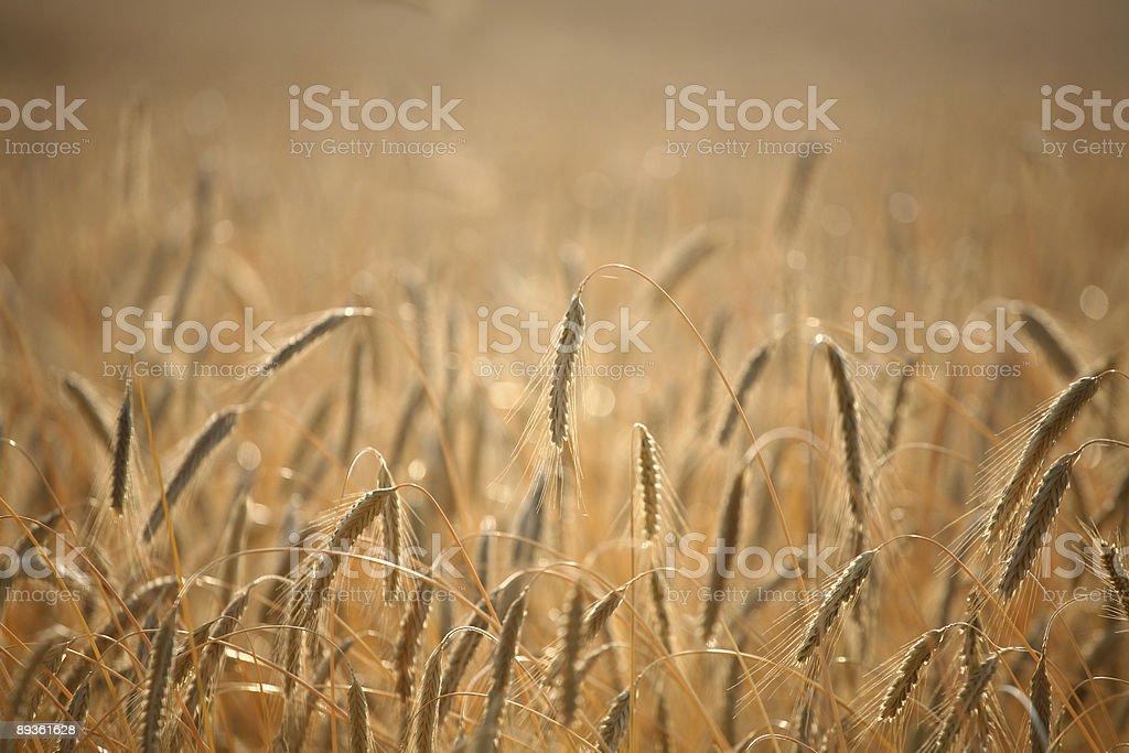 corn field foto de stock libre de derechos