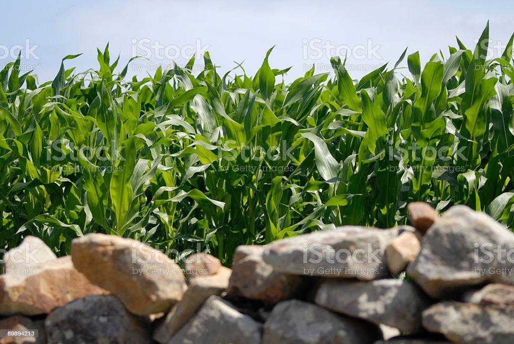Corn field Lizenzfreies stock-foto