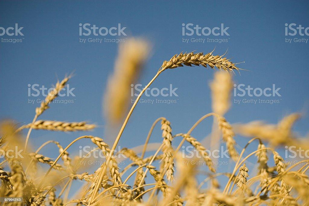 corn field royalty free stockfoto