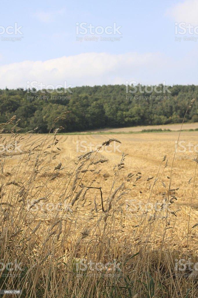 Corn Field royalty-free stock photo
