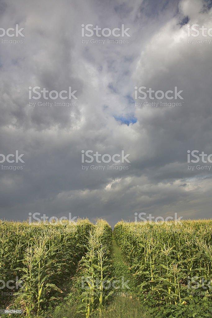 Corn field. royalty-free stock photo