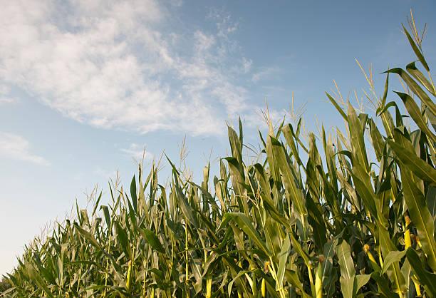 Corn field side view stock photo
