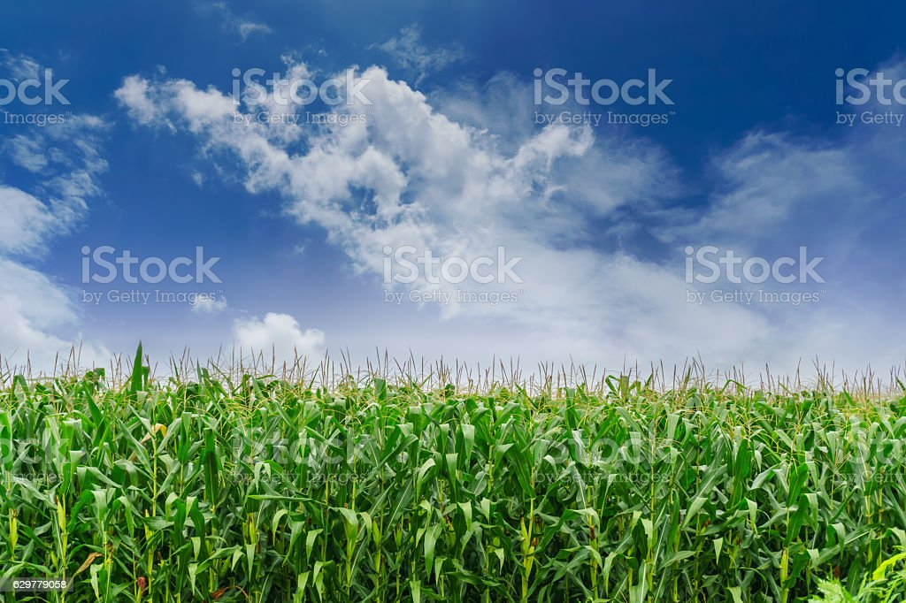 Corn field under blue sky stock photo