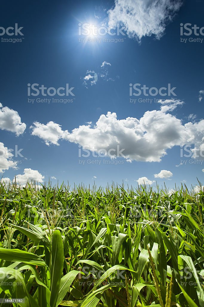 Corn field under the summer sun stock photo