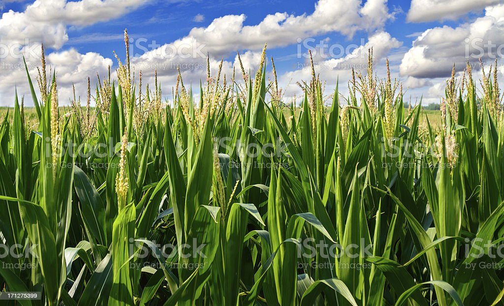 Corn field with clouds stock photo