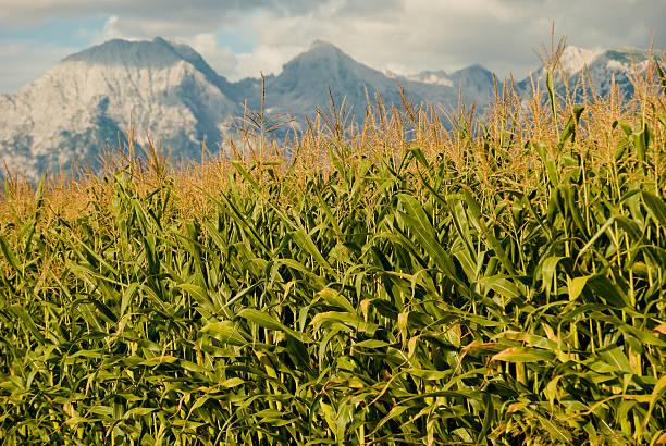 Corn field mit den Bergen im Hintergrund – Foto