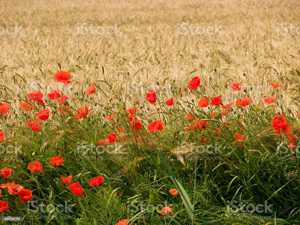 Corn Field with Poppies 1 royalty-free stock photo