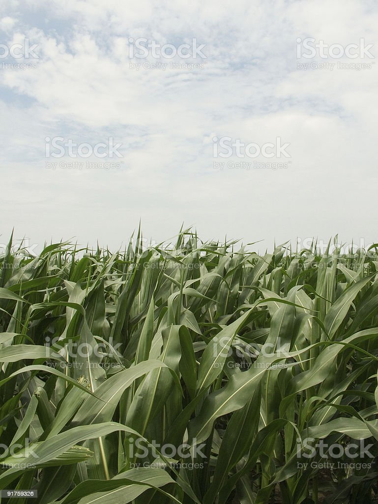 Corn Field with Sky royalty-free stock photo