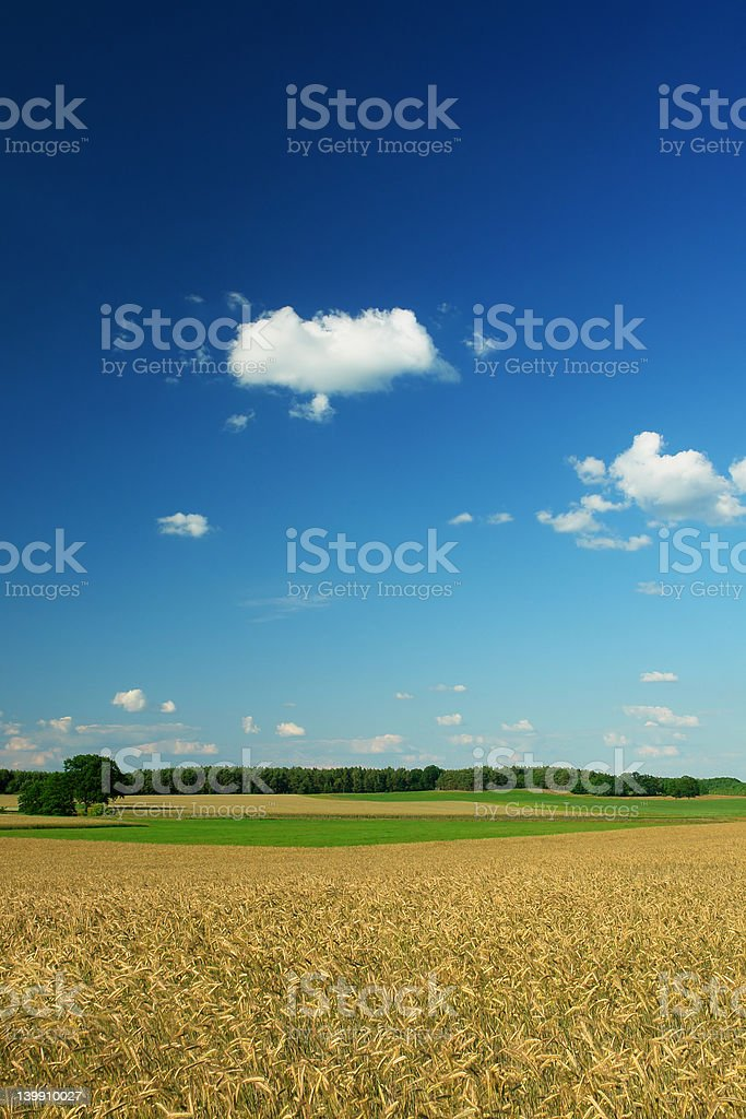 Corn Fields royalty-free stock photo