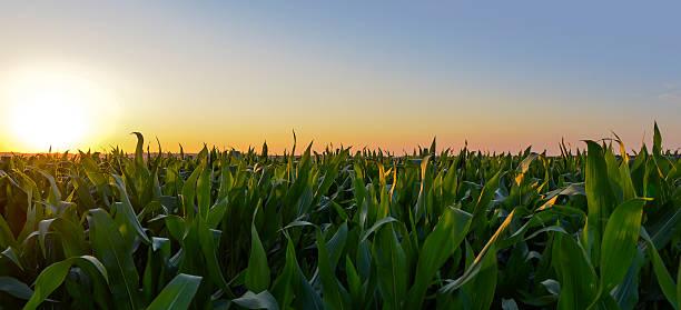 Champs de maïs – Foto